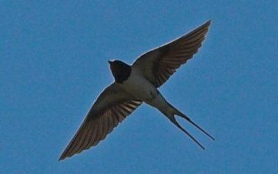 Une hirondelle / A swallow